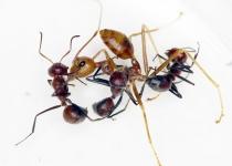 자기 배 터뜨리고 죽는 '자폭 개미'가 있다