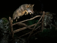 달빛 아래 늑대, 차갑게 응시하며 '점프'