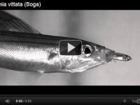 진공청소기 물고기? 가공할 흡입력으로 먹이 사냥