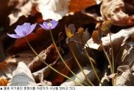 '경제, 경제' 외침에 멸종위기종 깽깽이풀 '깨갱'