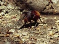 [오늘의 멸종위기종] 금빛 허리 코끼리땃쥐