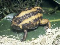 [오늘의 멸종위기종] 에티오피아 짧은 머리 개구리
