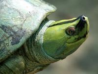 [오늘의 멸종위기종] 혼인색 화려한 미얀마 강 거북