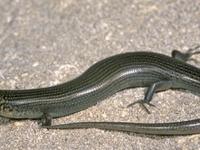 보호 손길조차 없는 두머그 도마뱀