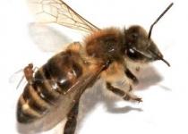 '좀비' 파리가 꿀벌 집단 붕괴 불렀나