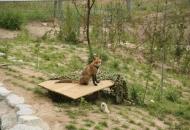 소백산 여우를 보호하라