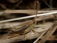 [오늘의 멸종위기종]에피루스 메뚜기