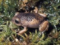 [오늘의 멸종위기종] 이타티아이아 고원 개구리