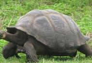 안장꼴 거북 등딱지, 뒤집혔다 쉽게 일어나려 진화