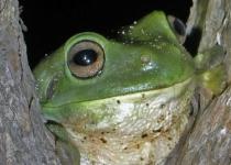 공기에서 물 짜내는, 사막 개구리의 생존법