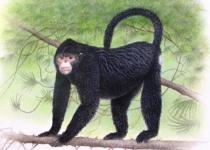 비 오면 재채기, 들창코 원숭이 미안마서 발견