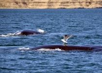 갈매기 공격이 긴수염고래 떼죽음 부른다