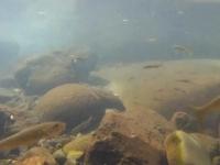 제주 강정천 은어의 마지막 여름