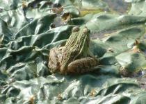 '가시방석'에 앉은 참개구리