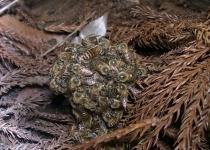 꿀벌, 무법자 장수말벌 공처럼 말아 '열폭탄'