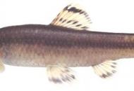 대전 도심하천에서 1급 멸종위기종 감돌고기 발견
