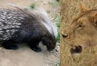 사자 잡는 쥐, 아프리카 호저…외톨이 수컷 주로 당해