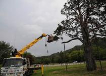 2800그루 중 으뜸 600살 소나무, 3차례 결혼 적통 논란