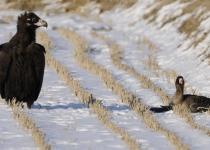 부상당한 쇠기러기 바라만 보는 독수리의 '여린' 본성