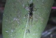 '죽음의 의식' 치르는 좀비개미의 비밀