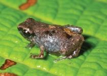 손톱 만한 세계 최소형 개구리 발견